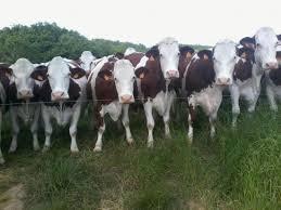 Les vaches de la famille Albert