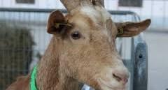 élevage de chèvre d'Ariège